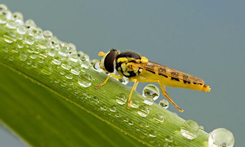 Zweefvliegje insecten macrofotografie